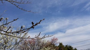 20170301桜